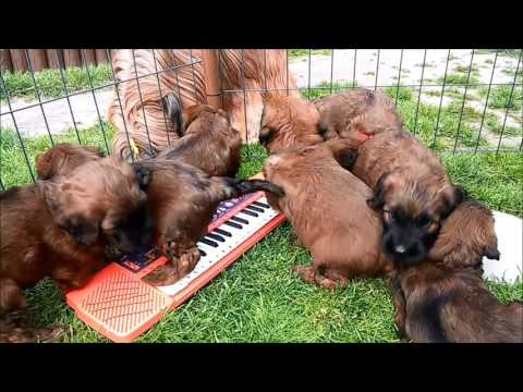 music lesson - briard puppies