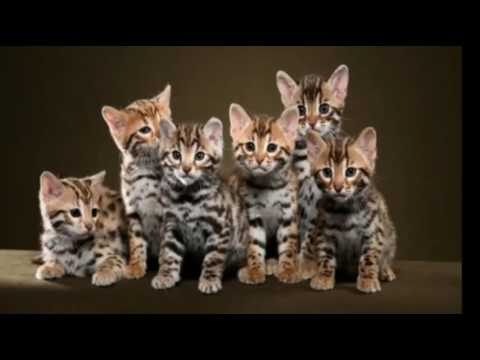 Top 10 Reasons to Choose a Bengal Cat as Your Pet