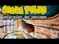 Suara Pulen Perkutut Lokal Paling Oke Buat Pancingan  Mp3 - Mp4 Download