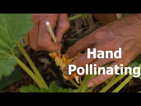 How to Hand Pollinate and the Difference Between Male and Female Flowers