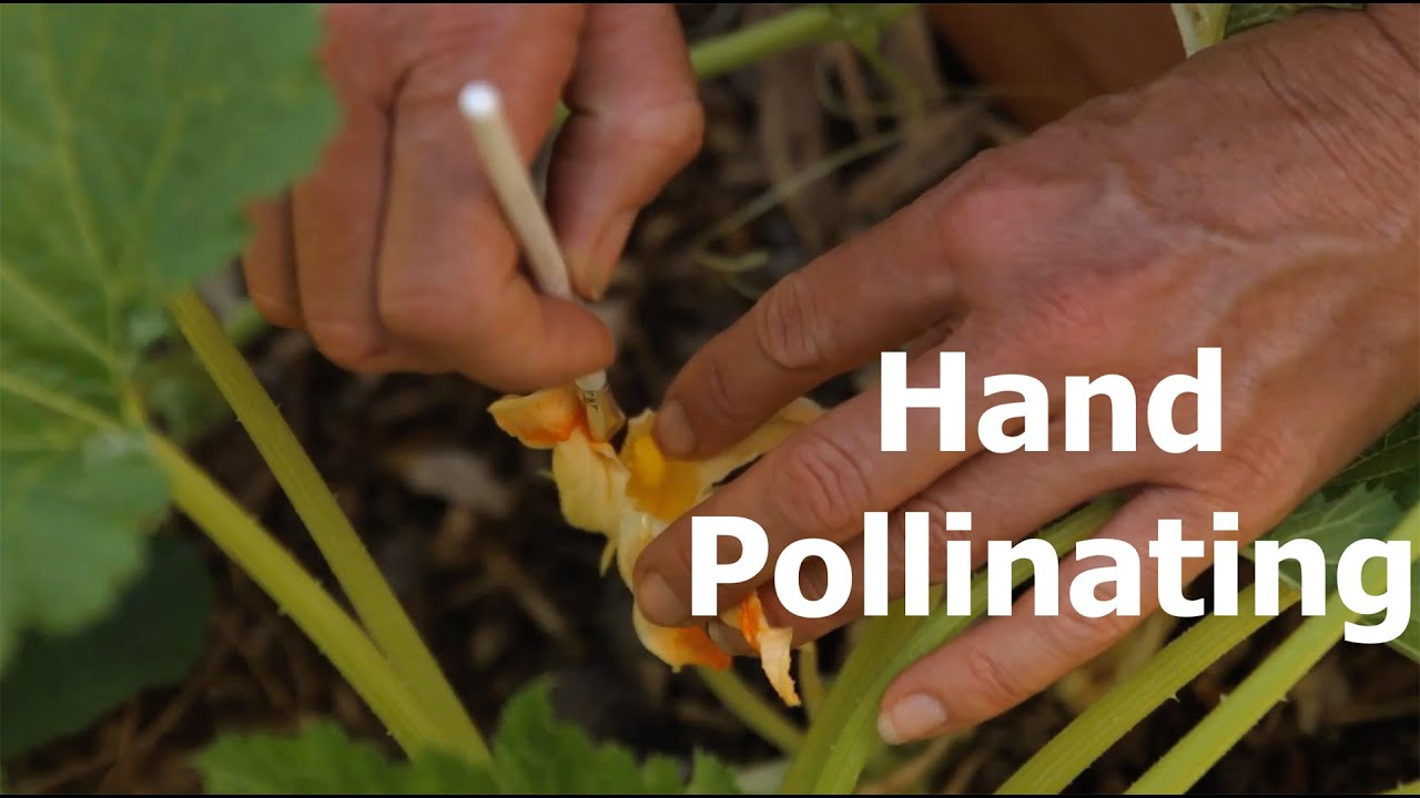 How To Hand Pollinate And The Difference Between Male And Female Flowers   Youtube