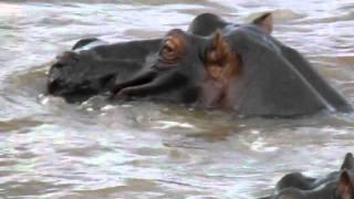 ケニア、マサイ・マラ動物保護区 川の中のカバその2.