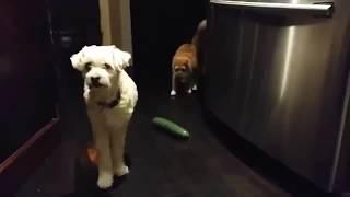 Кошки  боятся огурцов ПРИКОЛ