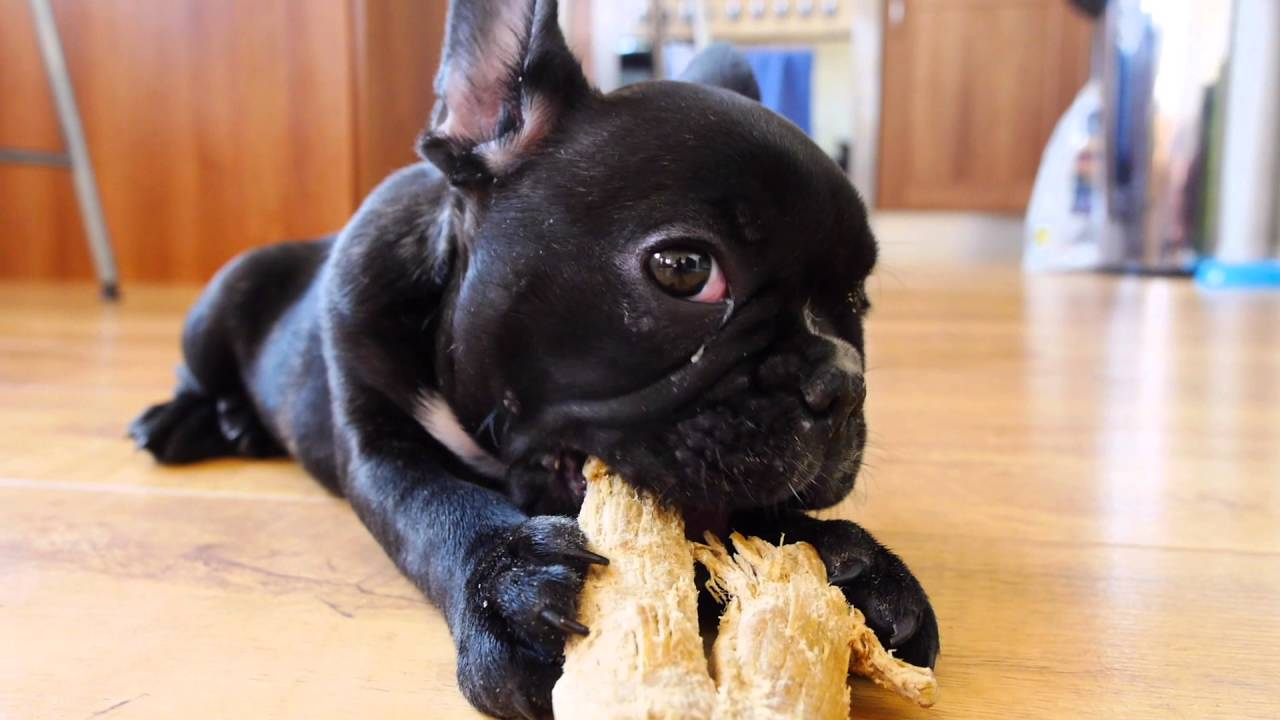 FRENCH BULLDOG PUPPY 10 WEEKS OLD | CUTE PUPPY - YouTube