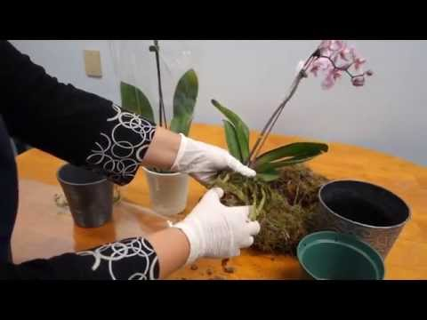 Orchid Care Trick : How to Save Your Potted Orchid From Dying