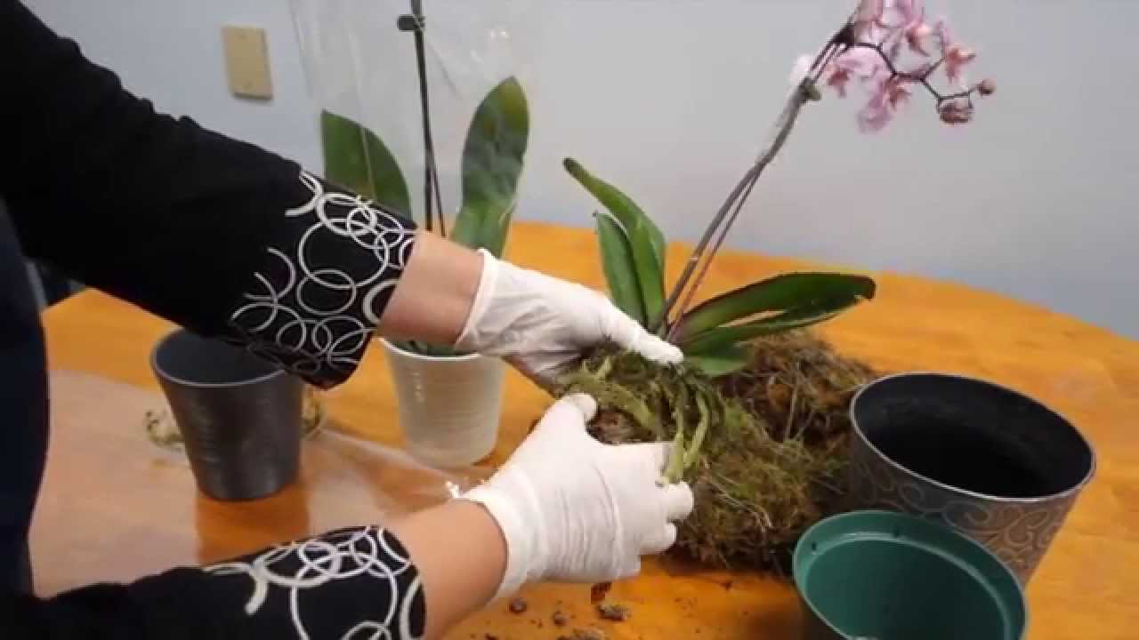 Orchid Care Trick How To Save Your Potted Orchid From Dying Youtube