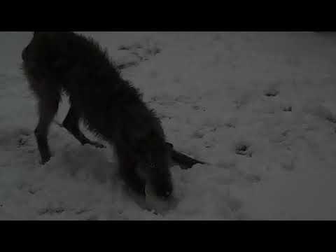 Scottish Deerhound 1 Today - A Snow Day