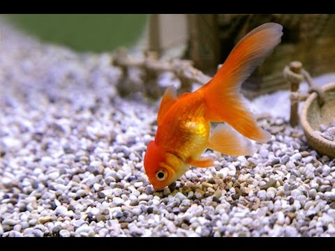 Gold fish eating food red worms sweet gold fish youtube for Fish that eat other fish