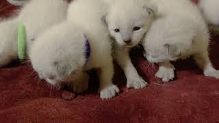 Siamese kittens - 2 weeks old