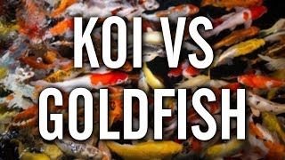 Koi vs Goldfish - Which to Choose for Your Pond