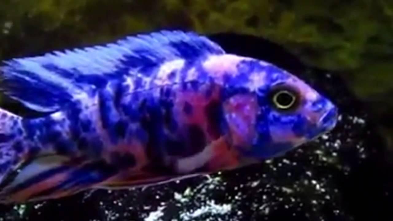 Аулонокара Мультиколор Aulonocara Multicolor OB Peacock про