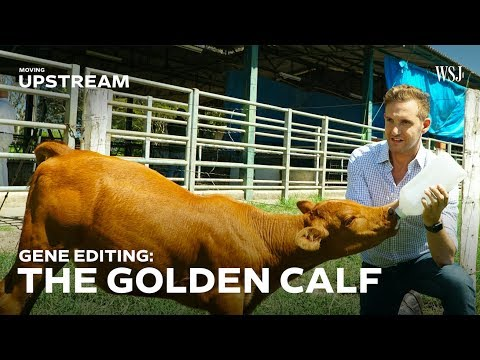 This Gene-Edited Calf Could Transform Brazil's Beef Industry | Moving Upstream