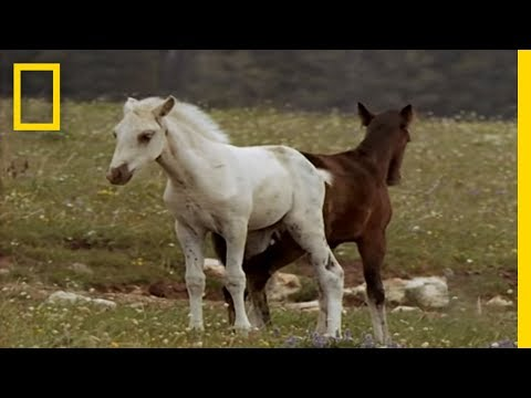 Wild Horses Kick Butt | National Geographic