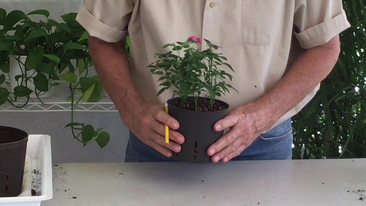 growing miniature roses in our hydroponic system - Mini Roses Care Indoor