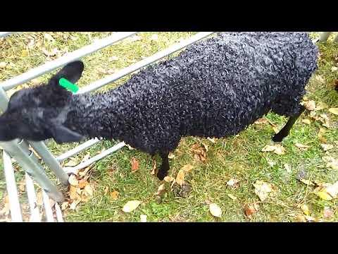 Bathing Gotland Lambs