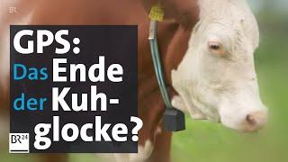 Technik statt Glocke: Die moderne Kuh trägt GPS   BR24