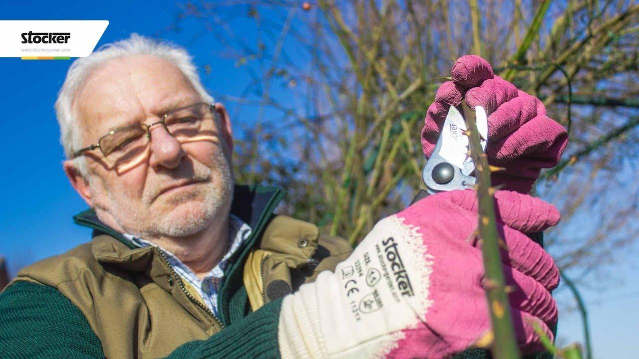 Piante Di Rose Rampicanti come potare la rosa rampicante - guida con consigli per la potatura