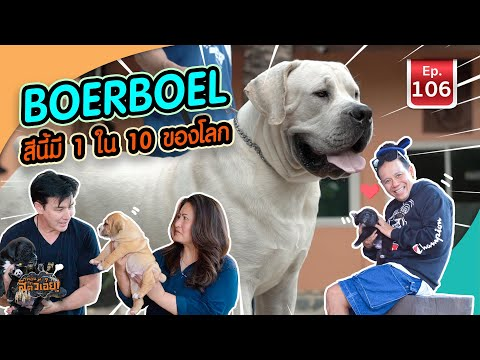 Boerboel สีนี้มี 1 ใน 10 ของโลก - เพื่อนรักสัตว์เอ๊ย EP.106
