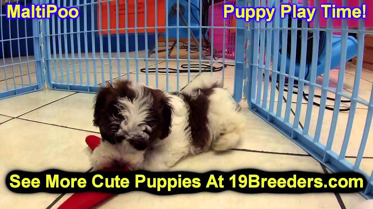 Maltipoo Puppies For Sale Inomaha Nebraska Nelincoln