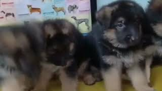 Plz call or whatsapp 8527699797 for dogs puppies and kittens