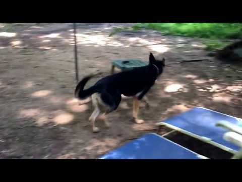 Gretchen the German Shepherd is ready for a forever home