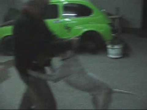 english pointer attack old man  …shocking  !!!