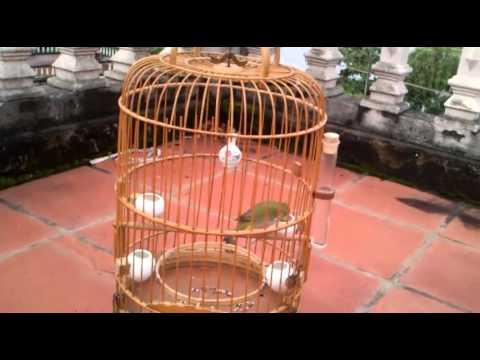 Chim khuyên líu P2 - HN