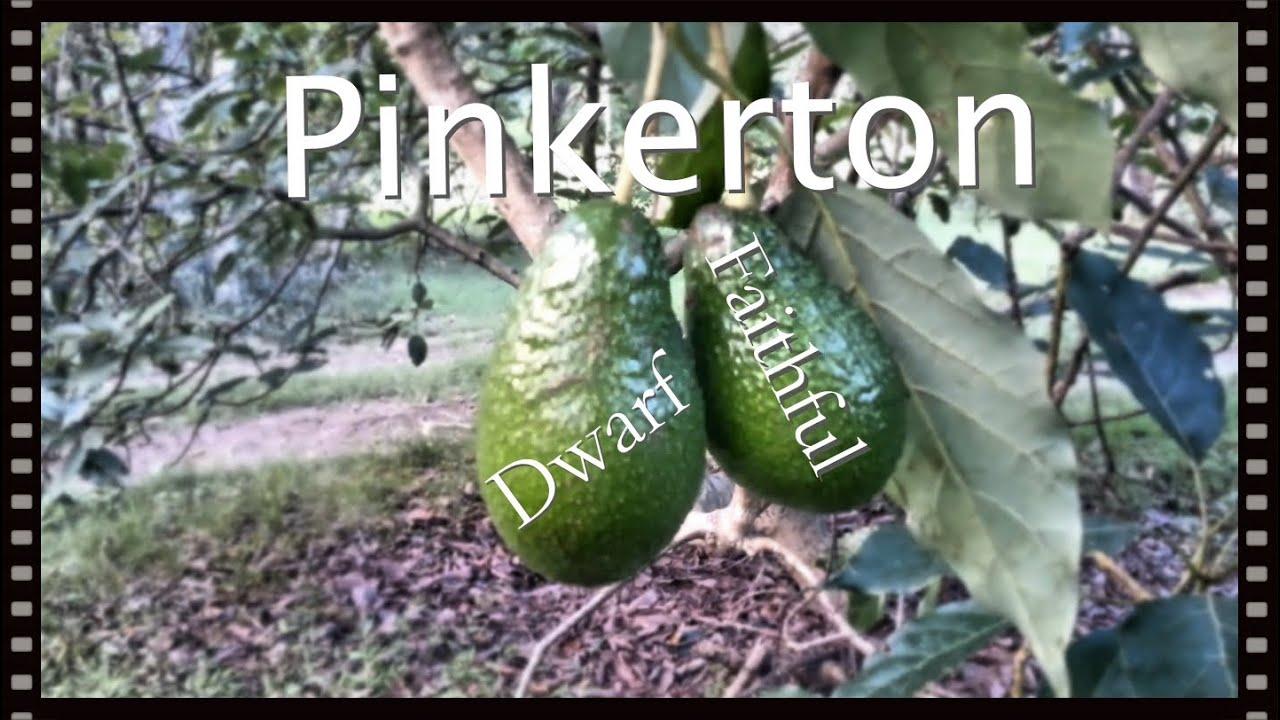 The Dwarf Avocado Tree  Pinkerton Produces Fruit Every