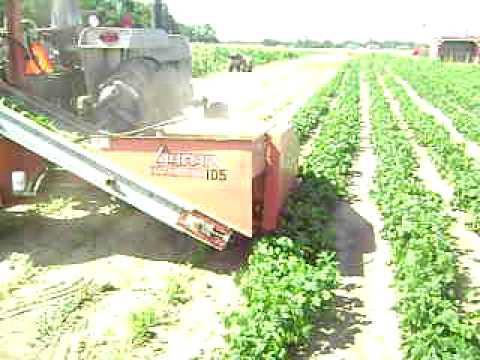 green bean picker  YouTube