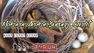 Cara Merawat Anakan Burung Cendet(Menu Makanan Anakan Burung Cendet)