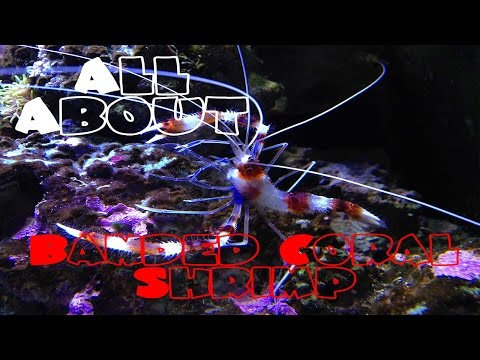 All About The Banded Coral Shrimp | Bristle Worm Killer