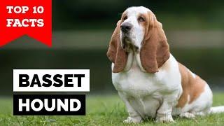 Basset Hound  Top 10 Facts