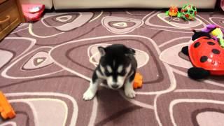 щенок хаски чёрно-белый мальчик 2