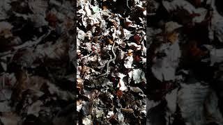 Hazelworm in bos bij Renkum
