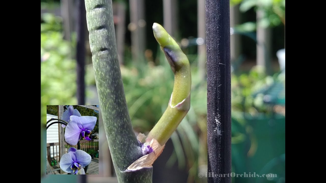 Phalaenopsis Waterfall Orchid Rebloom On Almost Cut Spike Youtube