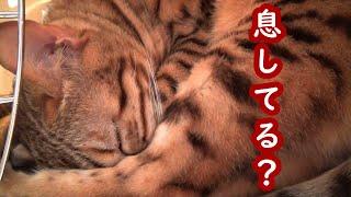 またキャリーバッグの中で寝ていたゆきちゃん、顔が足に埋もれてるけど息は出来てるの? 猫の体って柔らか~い( ´∀` )笑 いつもご視聴あり...