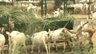 खेत खलिहान - उन्नत बकरी पालन | Advanced goatery