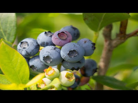 11 Health Benefits of Blueberries | Health & Nutrition