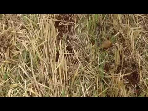 Cross Slot Drill Planting Oilseeds Rape