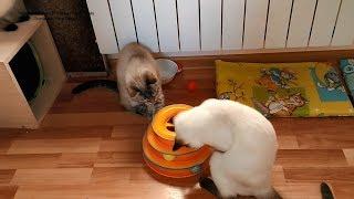 Как тайские котики играли шариками в башне треков! Тайские кошки - это чудо! Funny Cats