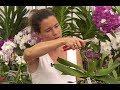 COMMENT ENTRETENIR, MULTIPLIER ET FERTILISER UNE ORCHIDEE (Phalaenopsis)