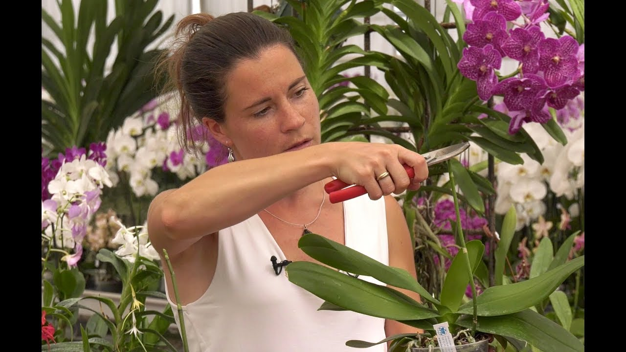 Download COMMENT ENTRETENIR, MULTIPLIER ET FERTILISER UNE ORCHIDEE (Phalaenopsis)