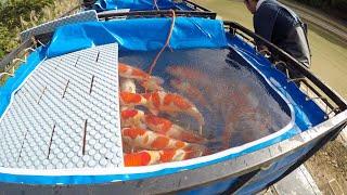 KOI FISH HARVEST (TATEGOI NISAI) - MARUDO KOI FARM JAPAN