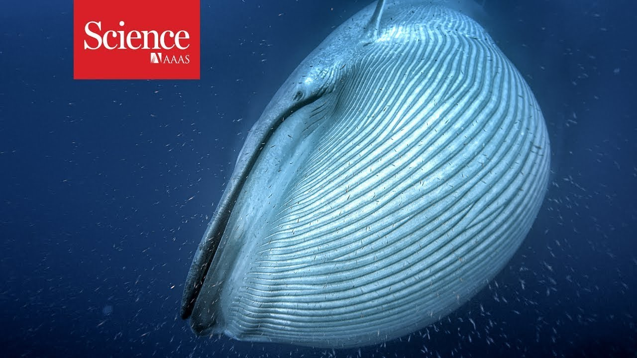 Why whales grew to such monster sizes