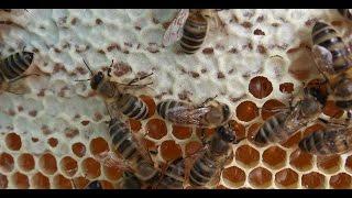 продаю майский мед в сотах в Подмосковье    урожай 2016 года(, 2016-06-18T09:33:16.000Z)