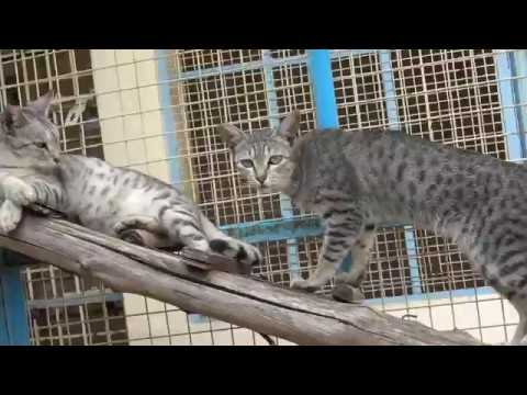 Cats Jumping in Karuna Society Cattery