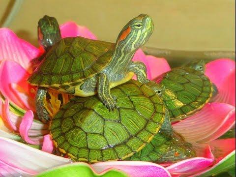 Наши черепашки красноухие черепахи! Наташа и Гектор