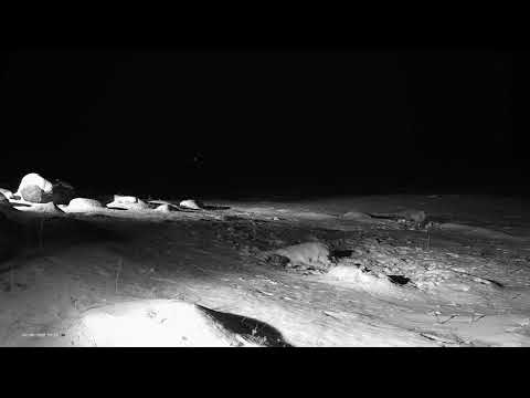 Kulgur Estonia 2018-02-04 second Fox with big jumps, take the food from the Fox 19:22