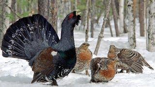 Птицы под снегом. Глухарь, рябчик, тетерев детям.