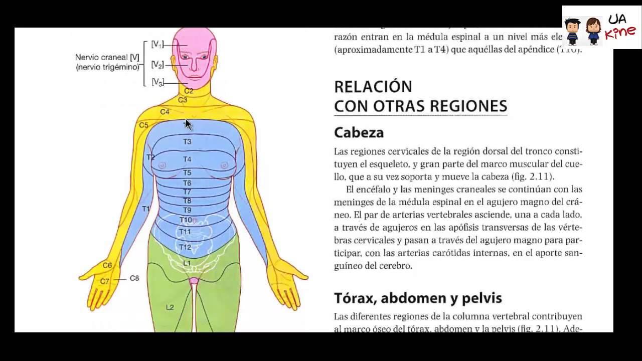 Anatomia - Dermatomas y Miotomas - YouTube